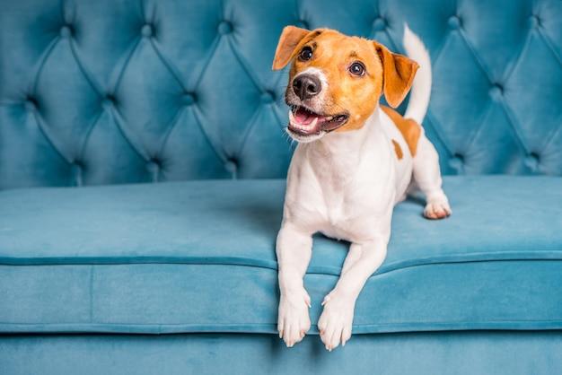 Jack russell terrier cane si trova sul divano in velluto turchese. Foto Premium