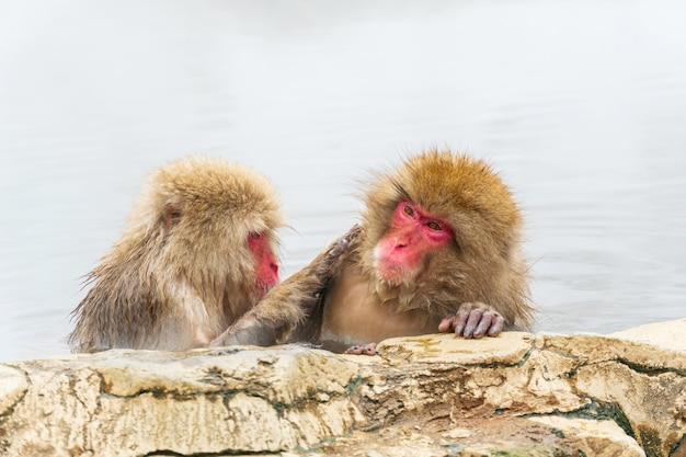 La scimmia giapponese della neve (macaque) si rilassa nella primavera calda in inverno al parco delle scimmie della neve. Foto Premium