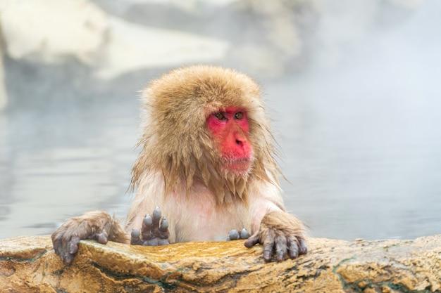 La scimmia giapponese delle nevi (macaque) si rilassa nella primavera calda in inverno al parco delle scimmie della neve. Foto Premium