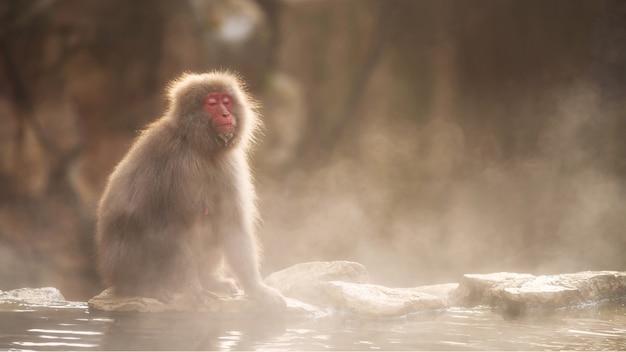 Il macaco giapponese della scimmia della neve prende il sole vicino alla sorgente calda onsen del parco di jigokudani Foto Premium