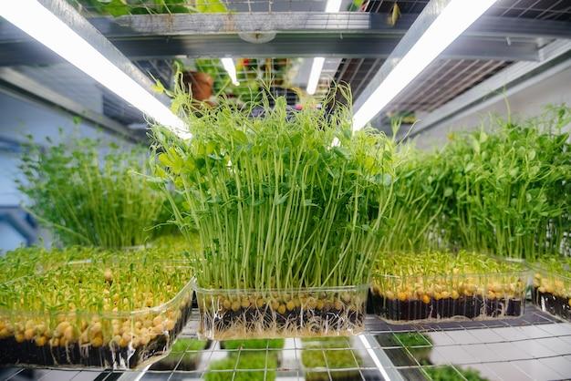 Succosi e giovani germogli di micro verdure in serra. Foto Premium