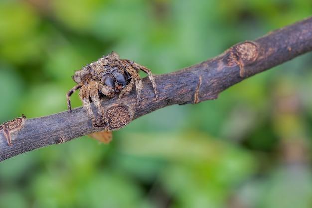 Jumping spider sullo sfondo sfocato Foto Premium