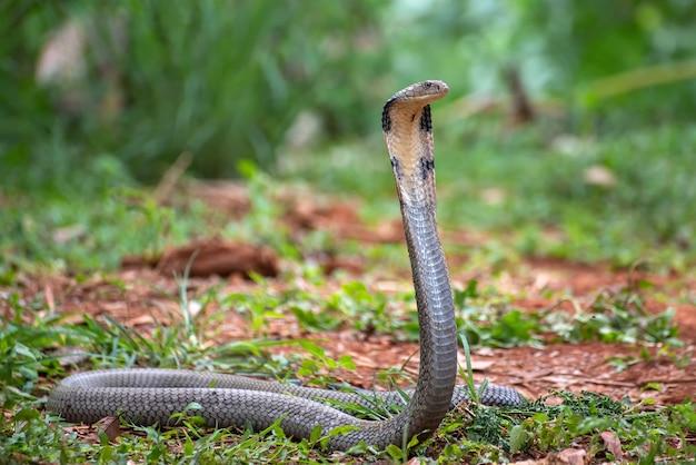 Il re cobra (ophiophagus hannah) Foto Premium