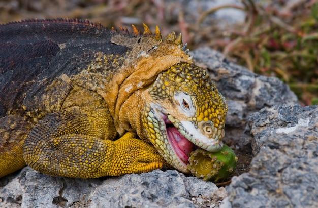 L'iguana di terra sta mangiando il cactus Foto Premium