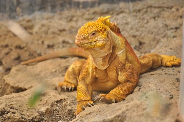 Iguana terrestre in ambiente naturale Foto Premium