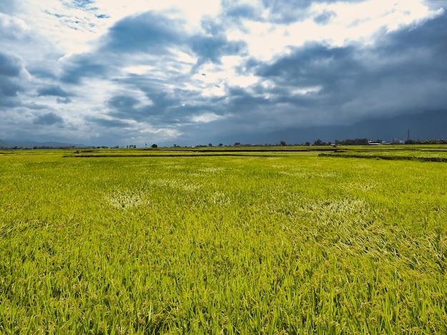Vista del paesaggio dei campi di riso a taitung, taiwan. Foto Premium