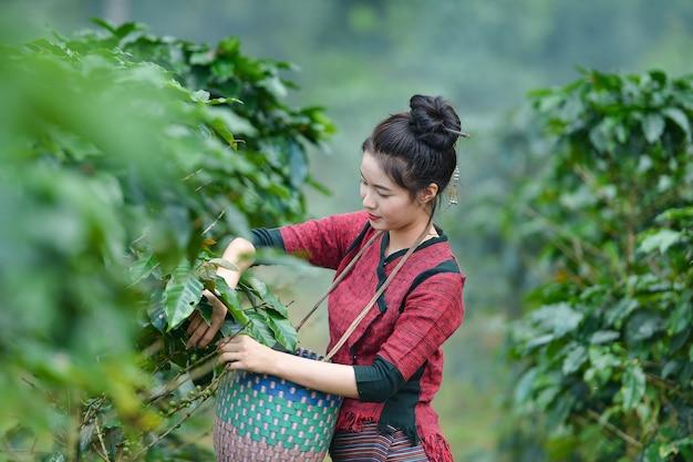 Il coltivatore di caffè non identificato della donna del laos sta raccogliendo bacche di caffè nella fattoria del caffè Foto Premium