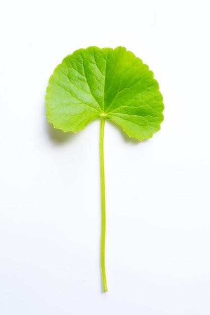 Foglia di gotu kola su bianco, erba e pianta medica. Foto Premium