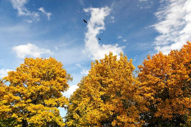 Le foglie diventavano fogliame giallo negli alberi del parco. Foto Premium