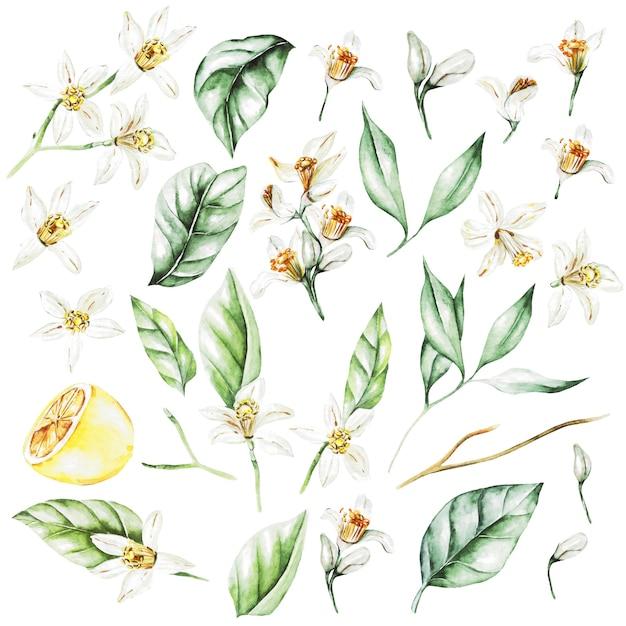 Limoni, fiori e foglie. frutta stile acquerello. illustrazione Foto Premium