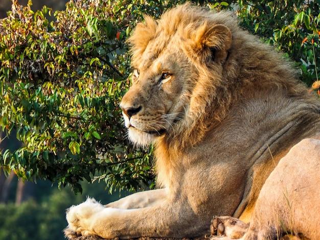 Cucciolo di leone che riposa nella savana tanzaniana Foto Premium