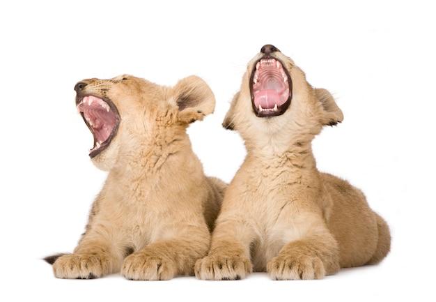 Lion cub su un bianco isolato Foto Premium