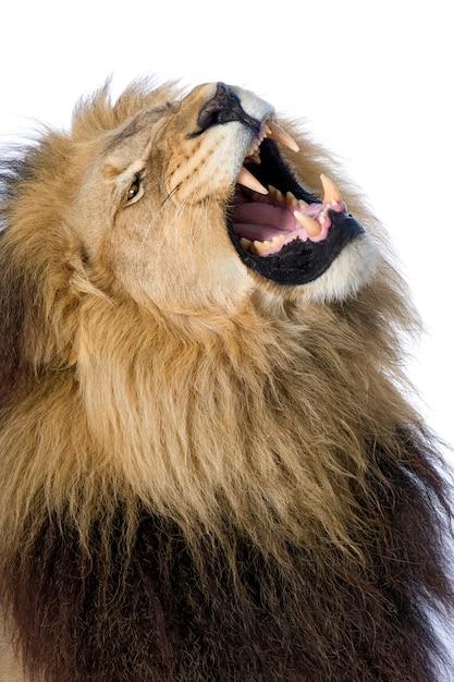 Leone, panthera leo su un bianco isolato Foto Premium