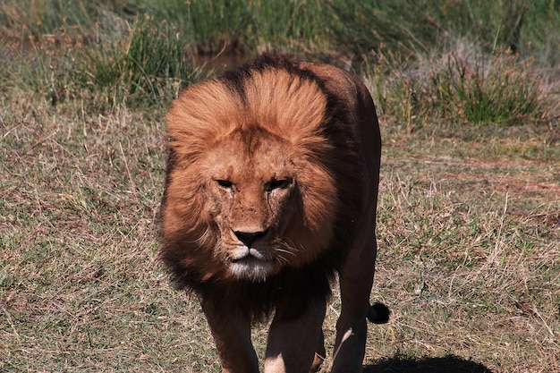 Lion in safari Foto Premium