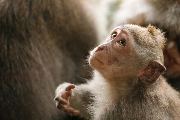 La piccola scimmia guarda in alto. sacra foresta delle scimmie, ubud, indonesia Foto Premium