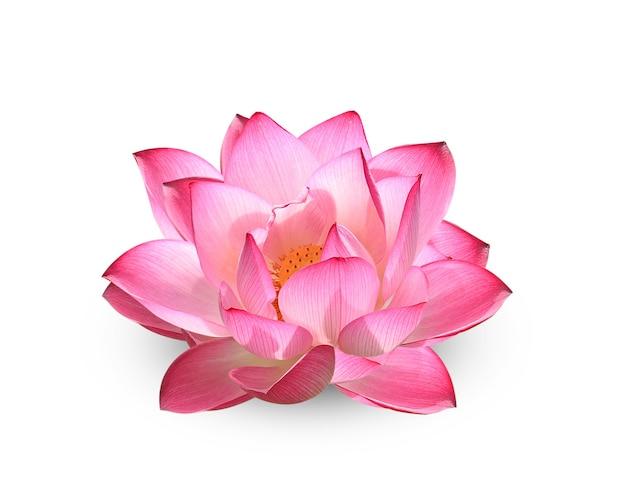 Fiore di loto su bianco Foto Premium