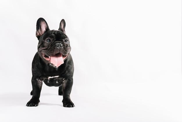 Composizione di animali domestici adorabili con il bulldog Foto Premium