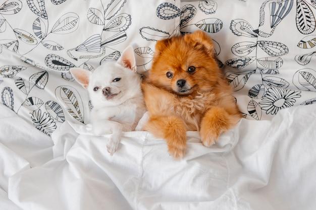 Ritratto adorabile dei cuccioli divertenti che si trovano sotto la coperta. Foto Premium
