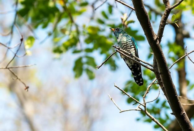Cuculo smeraldo asiatico maschio che si appollaia sul ramo, tailandia Foto Premium
