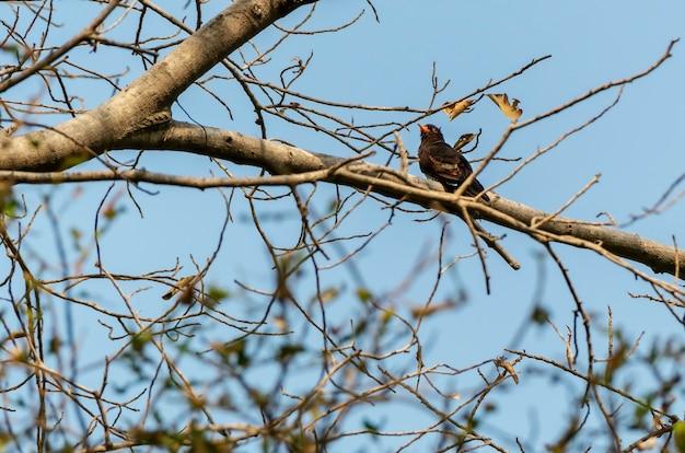 Cuculo viola maschio che si appollaia sul ramo, tailandia Foto Premium
