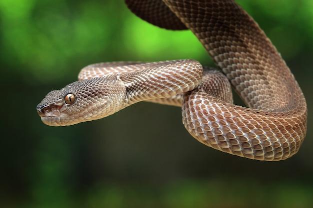 Manggrove pit viper snake closeup faccia Foto Premium
