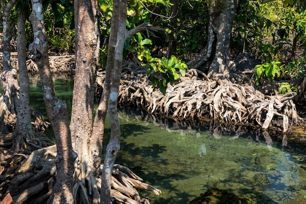 Albero di mangrovie e palude, krabi Foto Premium