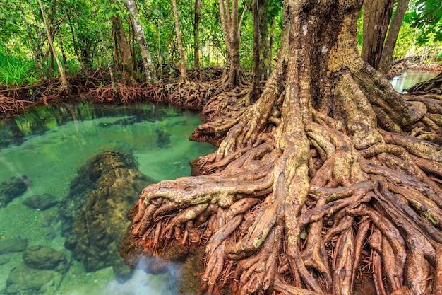 Alberi della mangrovia in una foresta della palude della torba alla provincia di krabi di area del canale del pom di tha, tailandia. srgb color prof Foto Premium