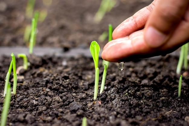 La mano degli uomini sta irrigando per le piantine del grano in crescita. Foto Premium