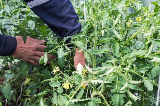 Le mani degli uomini legano le piantine di pomodoro al telaio della serra. lavori in giardino Foto Premium