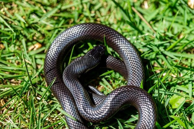 Il serpente nero messicano fa parte della più ampia famiglia di serpenti colubridi Foto Premium