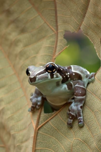 Mission golden-eyed tree frog arroccato su una foglia Foto Premium