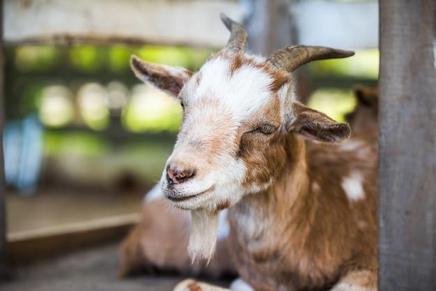 Madre capra che riposa fuori in una fattoria. capra con ritratto di corna. Foto Premium
