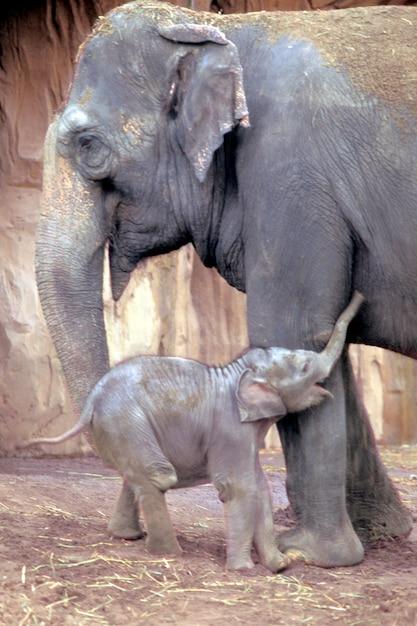 Abbraccio dell'elefante della madre e del neonato Foto Premium