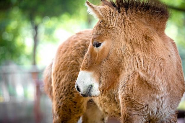 Mustang Foto Premium