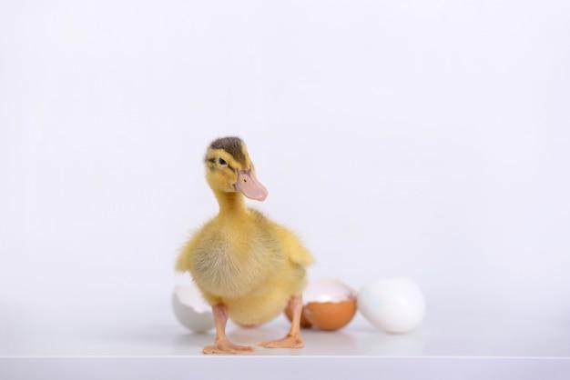 Anatroccolo e coperture neonati delle uova Foto Premium