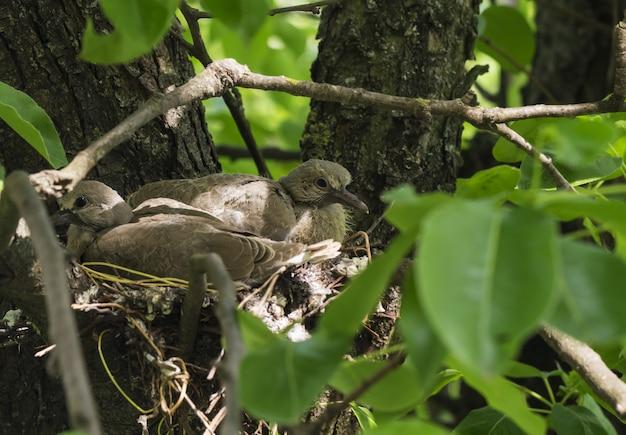 I piccioni neonati sono seduti nel nido e aspettano che la mamma prenda il cibo Foto Premium