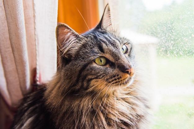 Gatto norvegese che si siede sul davanzale della finestra guardando fuori dalla finestra godersi il sole Foto Premium