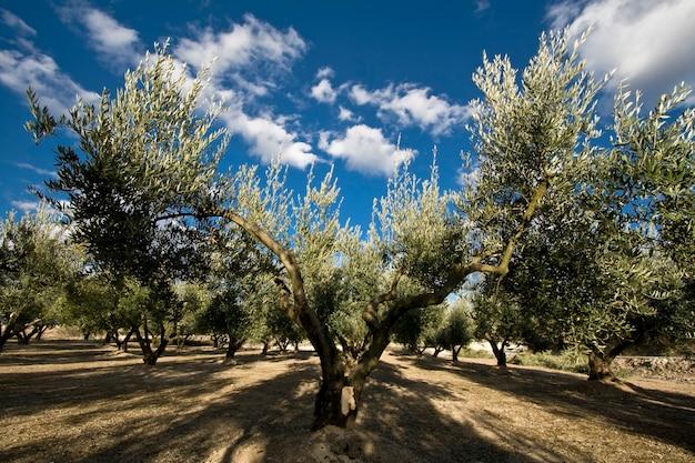 Di olivo in campagna Foto Premium