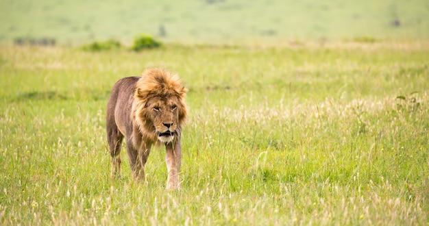Un grande leone maschio sta camminando nella savana Foto Premium
