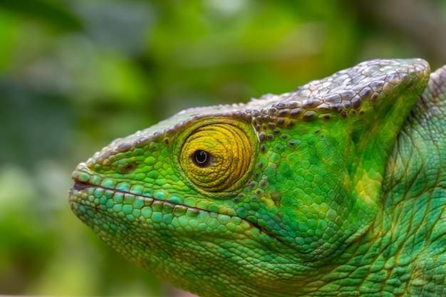 Un camaleonte in primo piano in un parco nazionale del madagascar Foto Premium