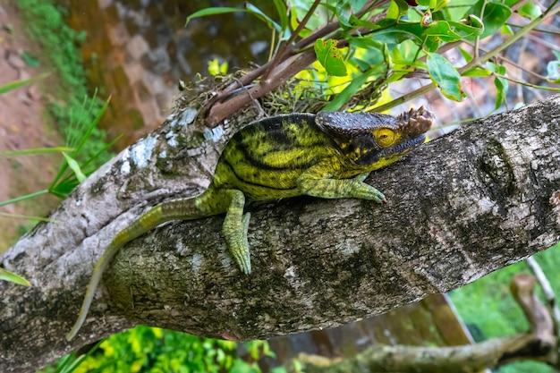 Un camaleonte si muove lungo un ramo in una foresta pluviale in madagascar Foto Premium