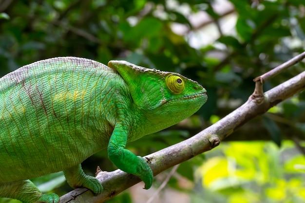 Un camaleonte colorato su un ramo in un parco nazionale dell'isola del madagascar Foto Premium