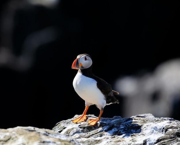 Un simpatico puffino atlantico si rilassa sotto la calda luce del sole sulle isole farne in inghilterra Foto Premium