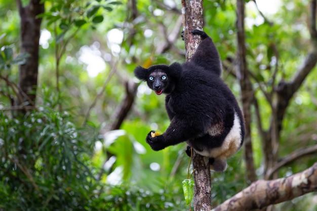 Un lemure indri sull'albero Foto Premium