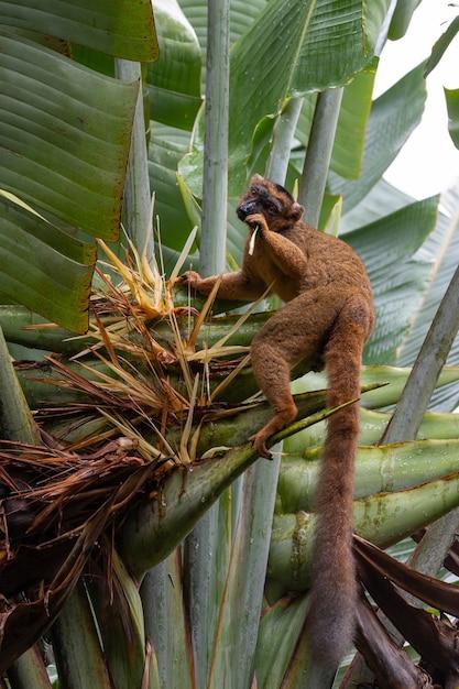 Un rosso vari lemur su una pianta di banana Foto Premium