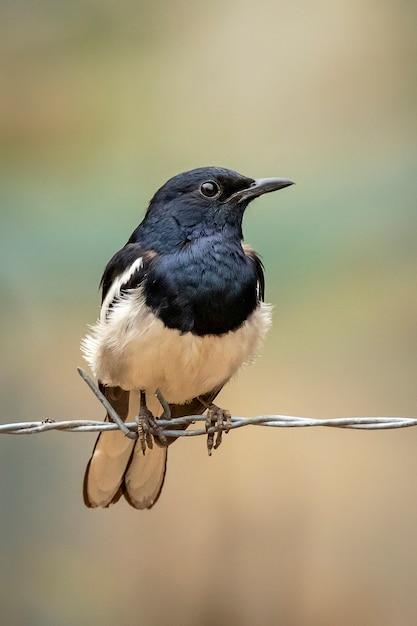 Robin orientale della gazza sul filo spinato sul fondo della natura. uccelli. animali. Foto Premium