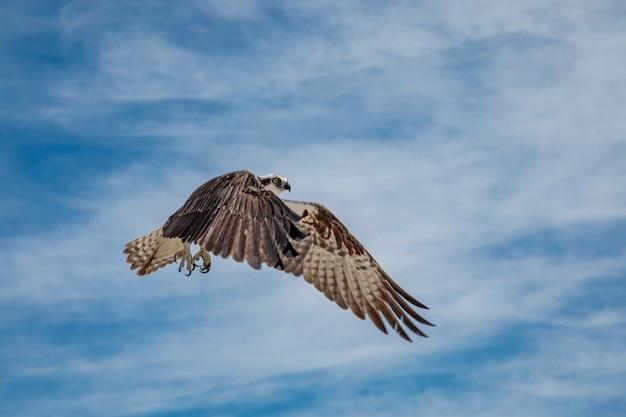 Osprey in volo contro il cielo blu con nuvole, messico Foto Premium