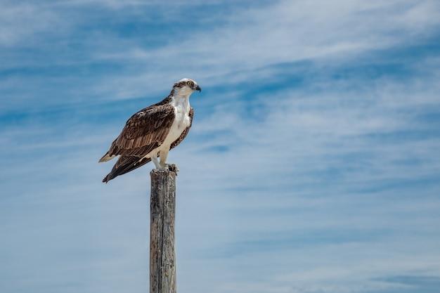 Osprey seduto sul palo di legno contro il cielo blu con nuvole, messico Foto Premium