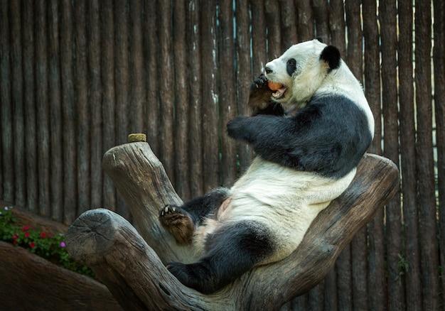 Panda si riposa nell'atmosfera naturale dello zoo. Foto Premium