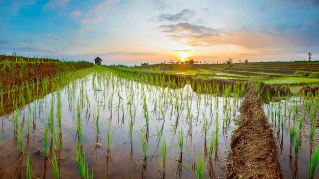 Viste panoramiche delle risaie con luce solare nel bengala settentrionale Foto Premium